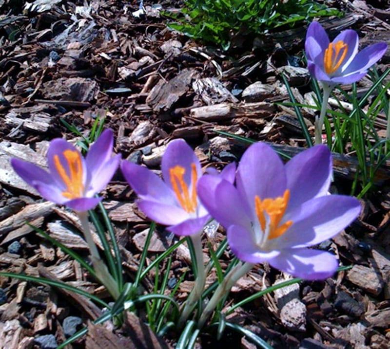 spring Crocus_in_BB_park2