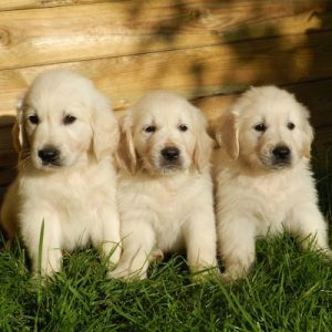 American cute puppies
